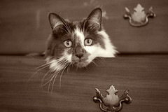 Gatsby in Drawer - Sepia (katherine lynn) Tags: pet sepia cat 50mm drawer dresser gatsby interestingness489 challengeyouwinner bestofcats impressedbeauty flickrchallengewinner