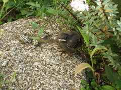 Junger Rotschwanz