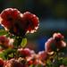 Roses:June 14th