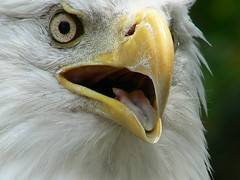 Extreme Closeup of Eagle (Domesticated Diva) Tags: eagle tennessee american oakridge goldaward secretcityfestival mywinners