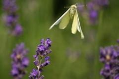 flying away (michielphaff) Tags: macro flowes rozendaal