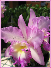 Lc. Ann Akagi 'H&R' (Laeliocattleya hybrid) at Serendah International Orchid Park