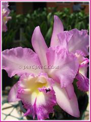 Lc. Ann Akagi 'H&R' (Laeliocattleya hybrid) at Serendah International Orchid Park
