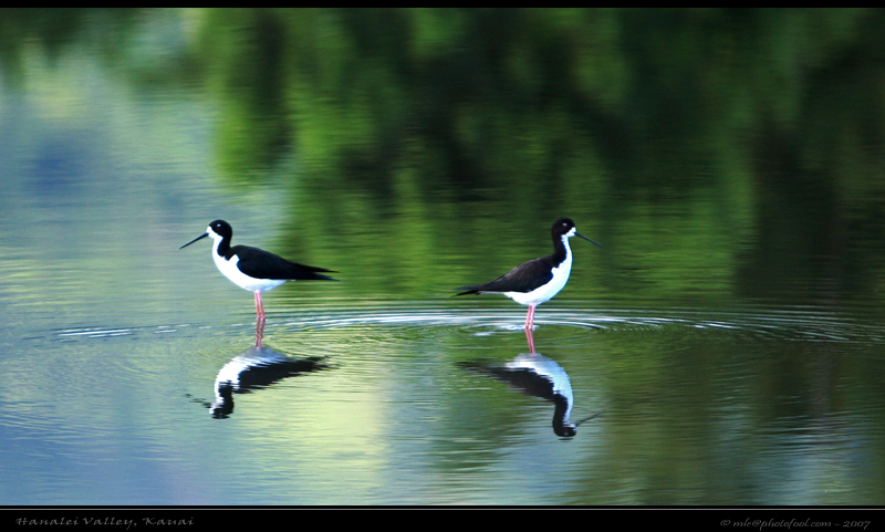 Bird reflection black-necked stilt