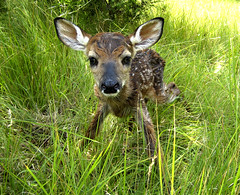 newborn fawn just 2 minutes after birth