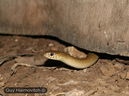 Adult Female Lined Dwarf Racer (Eirenis Decemlineata) שלוון קווים