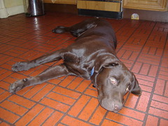 DSCF0049-small.JPG (Sean Duncan) Tags: dog labrador chocolate basil chocolatelabrador