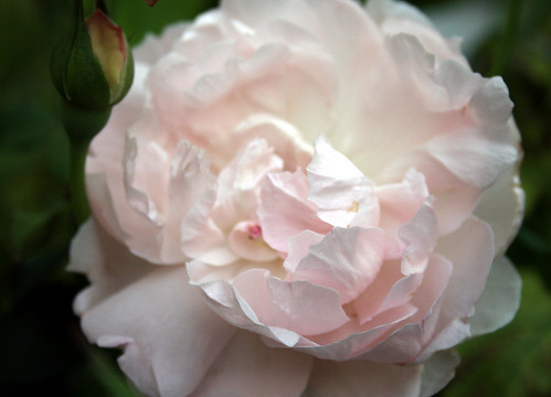 Sharifa asma – a lovely english rose
