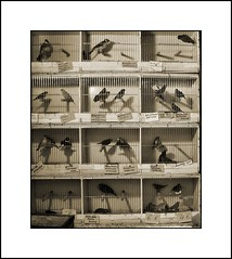 The prisoners (antwerpalan) Tags: birds animals sepia aj belgium angles delicious utata boxes antwerp canaries belgica animalplanet antwerpen budgerigars cages googleimages wildlide visiongroup antwerpalan alandean photosbyalandean photosbyantwerpalan