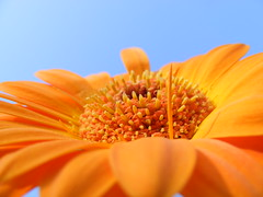 Gerbera... Up Close (sillysnapper) Tags: blue sky orange flower petals gerbera summer2007 fujifinepixs5700