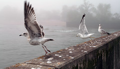 Take-Off (Sharon Mollerus) Tags: seagulls minnesota birds fog great lakes duluth lakesuperior canalpark qd10 20070905canalpark18