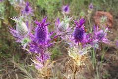 Eryngium leavenworthii (amy_buthod) Tags: plant flower flora wildflower eryngium apiaceae eryngiumleavenworthii specnature