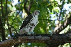hawk (placenamehere) Tags: bird newjersey unitedstates hawk nj paterson lambertcastle garretmountainreservation passaiccounty nikon70300mmvr