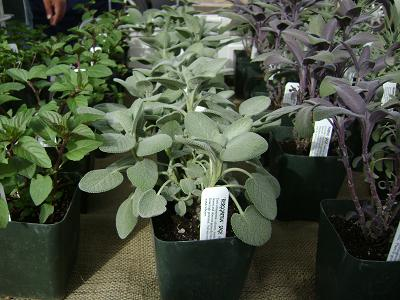 herb plants at the public market