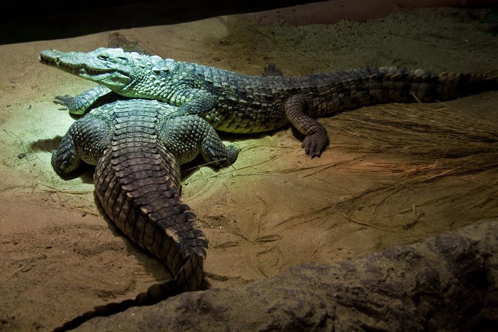 4689bfc9dce72  MG 3718 (Brero) Tags  ireland dublin zoo march cocodrilo crocodile irlanda  2010 dublinzoo zoological