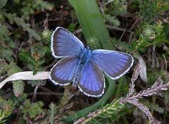 Silver Studded Blue (Plebejus argus) (Rezamink) Tags: uk butterflies plebejusargus silverstuddedblue