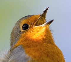 Happiness (Andrew Haynes Wildlife Images) Tags: bird nature robin wildlife coventry warwickshire brandonmarsh canon7d ajh2008