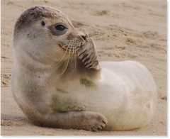 It wasn't me!! :) (Fishfingers & Custard) Tags: beach strange smile itwasntme grey eyes sand sony  norfolk thoughtful whiskers seal pup alpha common horsey alphamale allrightsreserved 2smile soweclubbedtogether somematesandifanciedaweekendaway fishfingerscustard a300700