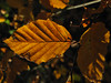 beech leaves (ewjz31) Tags: beechleaf lowforge