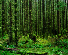 Surely the place where green was invented (Zeb Andrews) Tags: trees green film wet forest dark landscape washington moss olympicpeninsula pacificnorthwest ferns olympicnationalpark hohrainforest pentax6x7 fujipro160c bluemooncamera zebandrewsphotography bestofallitwasquiet