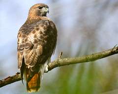 Red-Tailed Hawk (Brian E Kushner) Tags: red bird birds animals newjersey backyard nikon hand hawk wildlife brian tail nj handheld held f4 redtailedhawk buteojamaicensis audubon birdwatcher kushner backyardbirds 600mm nikor afsnikkor600mmf4gedvr d7000 audubonnj bkushner nikond7000 brianekushnernikon600mmf4afsvr