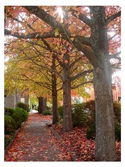 Maple Trees in Stirling ~Adelaide Hill (Kelvin Wong (Away)) Tags: autumn adelaide ysplix adelaidehill