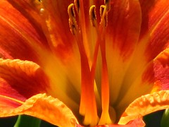 Glowing lily (ET Photo Home!) Tags: flowers orange petals lily pollen naturesfinest flowerotica aplusphoto flowererotica