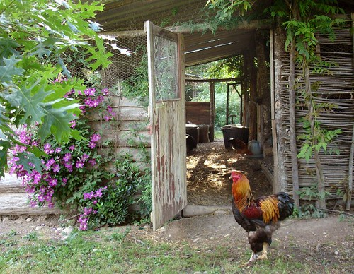 George the Brahma cockerel in front of the chicken shed by hardworkinghippy