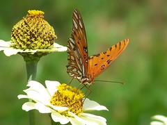 Lunch (GuppyStorm) Tags: nature beautiful butterfly garden zinnia naturesfinest thatsclassy