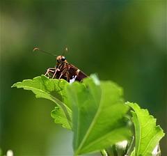 (mightyquinninwky) Tags: butterfly geotagged leaf bush 5 kentucky explore roseofsharon coolest blooming goldenegg westernkentucky unioncountykentucky ohiorivervalley specnature ohiorivercity morganfieldkentucky geo:lon=87905602 geo:lat=37693261 exploreformyspacestation