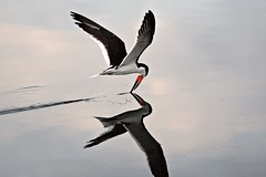 Black Skimmer (Wade Rose) Tags: summer black bird art water canon 1 flying chica time explore hero winner 5d wade bolsa ultra skimmer bolsachica naturesfinest bigmomma wonderworld supershot anawesomeshot waderose avianexcellence wowiekazowie frhwofavs mastersoflifegallery worldview2 winnerbc herowinner ultraherowinner