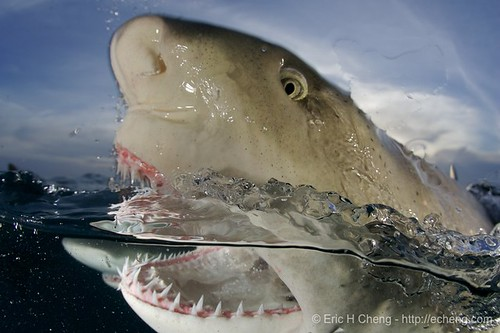Lemon shark at the surface