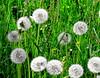 Dancing dandelions (:Linda:) Tags: two flower green grass germany village seed thuringia dandelion faded ten grün withered blume wildflower verblüht taraxacum dandelionclock löwenzahn verwelkt wildblume yellowwildflower bürden commonsorrel