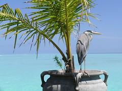 Maldive (Nespyxel) Tags: sea nature mare natura maldives maldive olhuveli sudatolls nespyxel stefanoscarselli pleasedontusethisimageonwebsites blogsorothermediawithoutmyexplicitpermissionallrightsreserved
