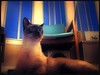 Sunday (Stephanoot) Tags: dark sunday siamese orton overphotoshopped catsandwindows