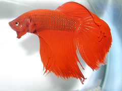 fishy (aZ-Saudi) Tags: red fish color interesting arabic explore saudi arabia fighting betta ksa   arabin arabs