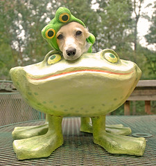 Return of Frog Dog (Doxieone) Tags: dog cute green english fall halloween yellow puppy costume interestingness long cream dachshund frog explore deck honey final blonde frogs exploreinterestingness pup miscellaneous haired pup1 mostpopular 2007 coll ggg 1002 longhaired final1 honeydog topfavorite explored englishcream 358151023 1367252008 honeyset 184425090708 209225100308 223227101308 fallhalloween200672008set 4393093009