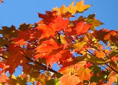 Couleurs-d'automne-II