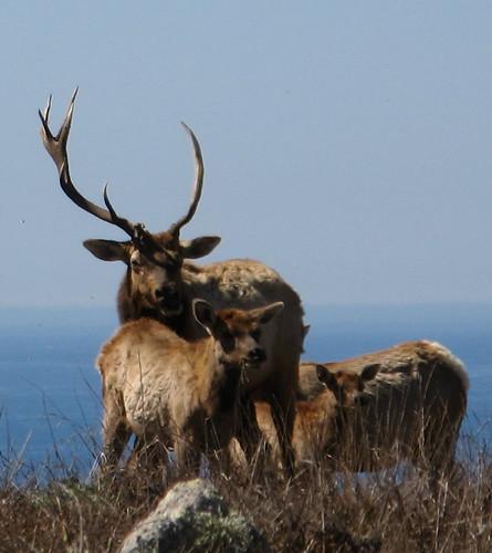 Top bull