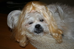Goldie Guy... (Tiny Haus) Tags: dog guy hair mutt wig blonde ae blythedoll scalp