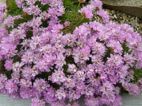 Armeria juniperfolia