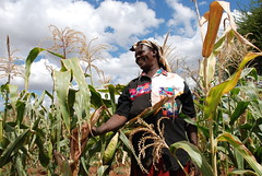 Drought tolerant maize route out of poverty for community-based seed producer, Kenya (CIMMYT) Tags: poverty africa woman plant planta field happy mujer corn kenya farm african farming seed drought impact kari campo production farmer feliz agriculture producer showing partnership maize kenia partner collaboration plot sequa granja pobreza kenyan demonstrating asociacin eastafrica impacto agricultura labranza parcela frica agricultor droughttolerant mostrando maz semilla colaborador colaboracin smallscale subsaharanafrica collaborator productor produccin asociado smallholder demostrando agricultora cimmyt pequeaescala femalefarmer fricaoriental fricasubsahariana droughttolerance dtma improvedvariety variedadmejorada kenyaagriculturalresearchinstitute productordesemilla seedproducer tolerancaalasequa tolerantealasequa minifundista droughttolerantmaizeforafrica maztoleranteasequaparafrica