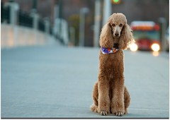 Valour 42/52 (Perry McKenna) Tags: ontario bus traffic iso400 spoo poodle cooper standardpoodle kanata octranspo canadianveterans 150mm f32 ef70200mmf28lisusm apricotpoodle canon7d 52weeksfordog 10weeksleft valourbridge lovedthe7d probably75away