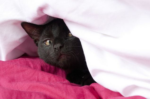 cute black cat hiding under cover