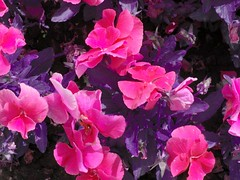 iekler (F!L!Z) Tags: flowers eskiehir mor iekler pembe anadoluniversitesi yunusemrekamps