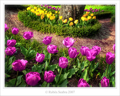 * Pink Tulips and Yellow (*atrium09) Tags: pink flowers yellow garden searchthebest tulips jardin olympus amarillo soe hdr tulipanes naturesfinest blueribbonwinner photomatix atrium09 colorphotoaward rubenseabra