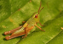 """Grasshopper(6) • <a style=""""font-size:0.8em;"""" href=""""http://www.flickr.com/photos/57024565@N00/621394719/"""" target=""""_blank"""">View on Flickr</a>"""