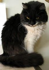 think again... (milomingo) Tags: bw pet cat feline critter longhair whiskers daffy kissablekat