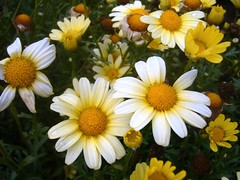 Love's Me, Love's Me Not (Gail Peck) Tags: flowers macro yellow daisies naturesfinest