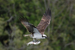 Osprey (wmchu) Tags: california bird top20np raptor osprey birdsofprey pandionhaliaetus redwoodnationalpark wildbirds wildbird